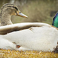 Two Ducks by Arnold Priddie Photography