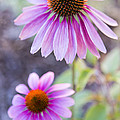 Two Echinacea by Caitlyn  Grasso