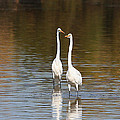 Two Egrets In The Pond by Tom Janca