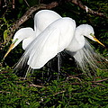 Two Egrets by John Greco