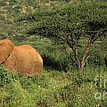 Two Elephants Walking Through The Grass by Deborah Benbrook