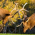 Two Elk Bulls Sparring by James BO  Insogna