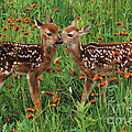 Two Fawns Talking by Chris Scroggins