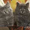 Two Fluffy Kittens by Jean-Michel Labat