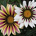 Two Gazanias by MTBobbins Photography