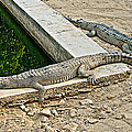 Two Gharial Crocodiles In Gharial Conservation Breeding Center In Chitwan Np-nepal   by Ruth Hager