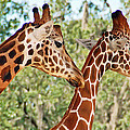 Two Giraffes by Aimee L Maher ALM GALLERY