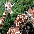 Two Giraffes by Kathleen Struckle