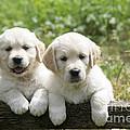 Two Golden Retriever Puppies by John Daniels