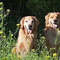 Two Golden Retrievers Sitting Together by Zandria Muench Beraldo
