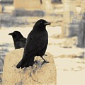 Two Graveyard Blackbirds by Gothicrow Images