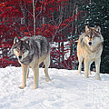 Two Gray Wolves by Les Palenik