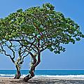 Two Heliotrope Trees On Tropical Beach Art Prints by Valerie Garner