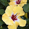 Two Hibiscus by Sally Weigand