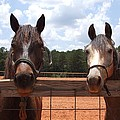 Two Horses by Lisa Wormell