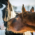 Two Horses  by T Thomas Photography - This Old Horse