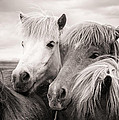 Two Icelandic Horses Sepia Photo by Matthias Hauser