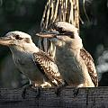 two Kookaburra by Michael  Podesta