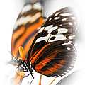 Two Large Tiger Butterflies by Elena Elisseeva