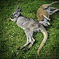 Two Lazy Kangaroos Lying Down by LeeAnn McLaneGoetz McLaneGoetzStudioLLCcom
