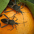 Two Leaf Footed Bugs On An Orange by Robert Hamm