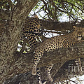 Two Leopards In A Tree by Chris Scroggins