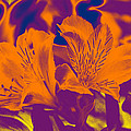 Two Lilies Gradient by Linda Brody