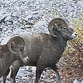 Two Male Rams by Jeff Swan