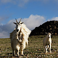 Two Mountain Goats Oreamnos Americanus by Scott Dickerson