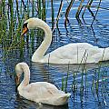 Two Mute Swans by Denise Mazzocco