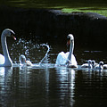 Two Mute Swans With Young Cygnus Olor by Animal Images