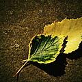 Two Of Birch Leaves by Jozef Jankola