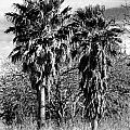 Two Palms by Gary Richards