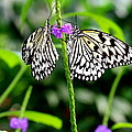 Two Paper Kite Or Rice Paper Or Large Tree Nymph Butterfly Also Known As Idea Leuconoe by Amanda Mohler
