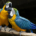 Two Parrots Squawking by Dave Dilli