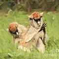 Two Patas Monkeys Erythrocebus Patas Grooming by Liz Leyden