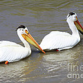 Two Pelicans by Alyce Taylor