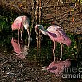 Two Pink Spoonbills by Stephen Whalen