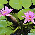Two Pink Water Lilies by Carol Groenen