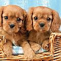 Two Puppies In Woven Basket Dp709 by Greg Cuddiford