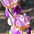 Two Purple Irises by Carol Groenen