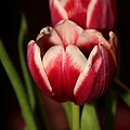 Two Red Tulips by Sabrina L Ryan