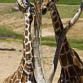 Two Reticulated Giraffes - Giraffa Camelopardalis by Jason O Watson