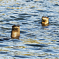Two River Otters by Belinda Greb