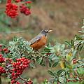 Two Robins Eating Berries by Linda Brody