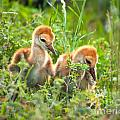 Two Sandhill Crane Chicks by Photos By  Cassandra