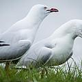 Two Seagulls by Patrik Berger