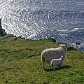 Two Sheep On The Cliffs At Sleive League - Donegal Ireland by Bill Cannon
