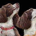 Two Spaniels by Linsey Williams