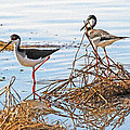 Two Stilts At The Pond by Tom Janca